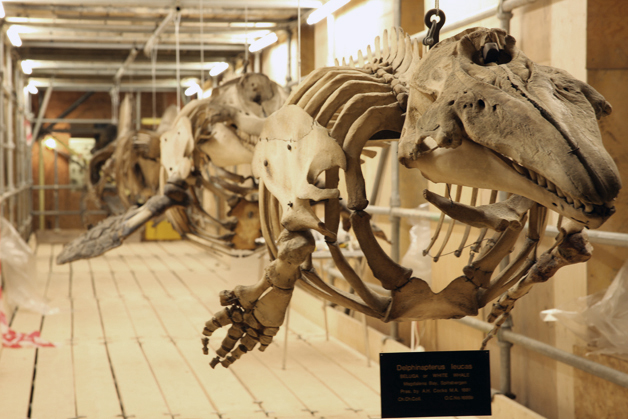 Five whale skeletons suspended from scaffolding (Beluga Whale in foreground)