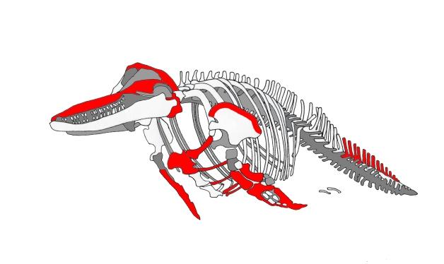 bottlenose dolphin (tursiops truncatus, montagu, 1821) illustration showing  typical oil-rich