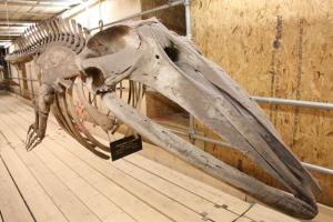 Lesser Fin Whale