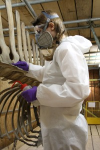 Nicola working on whales in protective gear