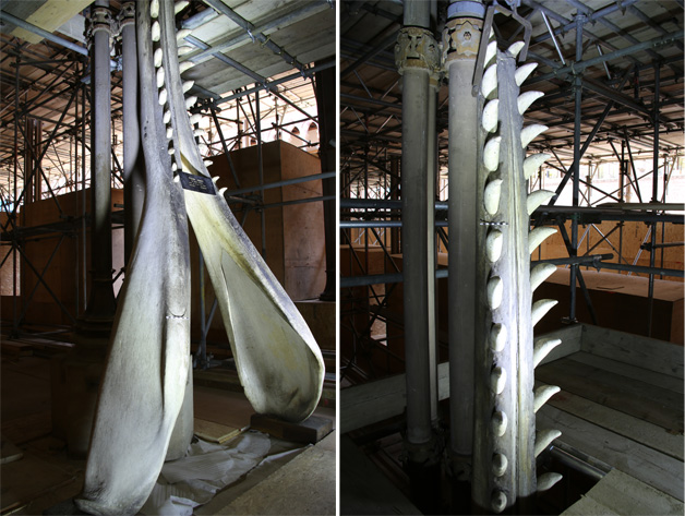 Sperm Whale mandible below and above scaffolding platform