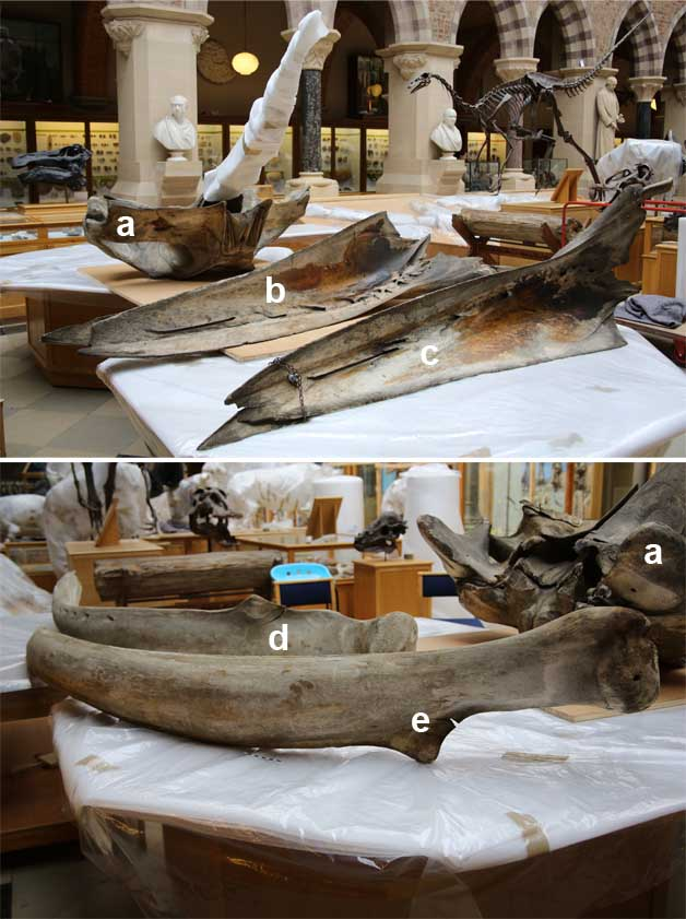 Humpback Whale skull (a), upper (b,c) and lower (d,e) mandible elements