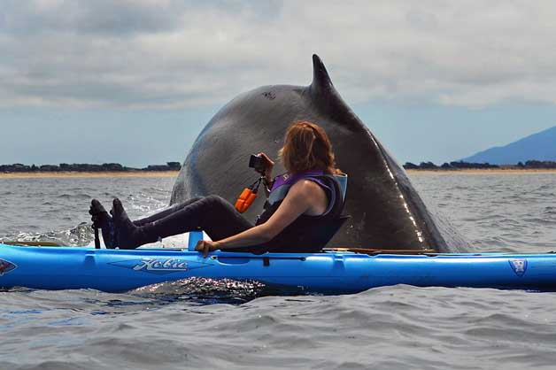 Kayaker's close encounter with Humpback Whale (Caters News Agency, 2013)