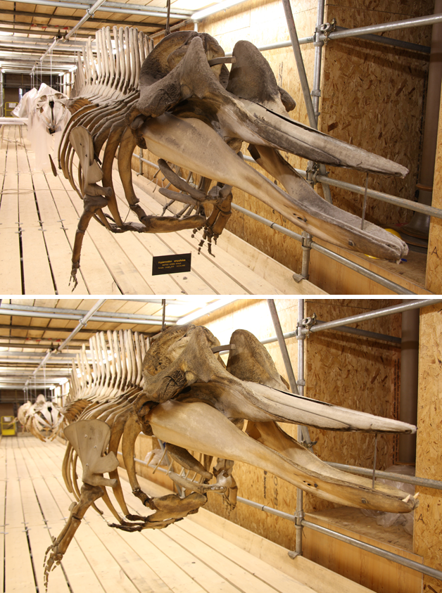 Northern bottlenose whale pre (above) and post (below) treatment