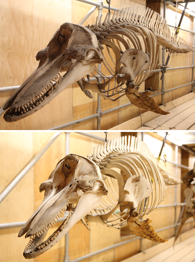 Dolphin pre (above) and post treatment (below)